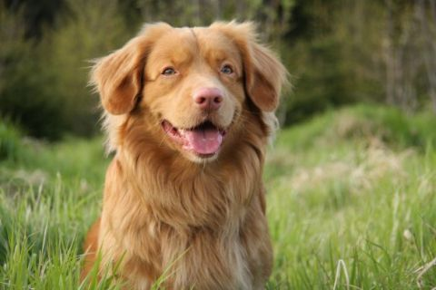 Ronnie - Nova Scotia duck tolling retriever